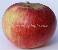 Akane Apple from Japan, introduced in 1937, a cross between Jonathan and Worcester Pearmain A wonderful eating apple with a very good flovour.  Ripens early-mid season not a good keeper.  Needs a polinator good disease resistance