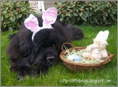 Little Brags   Newfoundland Easter Bunny