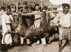 The last known photo of a Bali tiger taken in 1937.The last specimen definitely recorded was this  female shot at Sumbar Kima, west Bali, on September 27, 1937. However, a few animals likely survived into the 1940s and possibly 1950s.The subspecies became extinct because of habitat loss and hunting. Given the small size of the island and limited forest cover, the original population could never have been large. Wikipedia Curiosities: More Rare Historical Photos