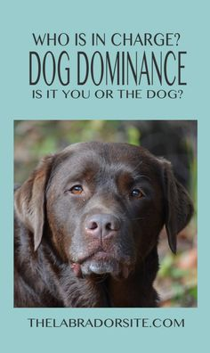 Dog Training A guide to dog dominance and alpha dogs - Want to know how to recognize signs of dog dominance? We bring you the important facts about pack leadership and the alpha dog Dog Training Methods, Basic Dog Training, Dog Training Techniques, Potty Training, Alpha Dog Training, Training Dogs, Agility Training, Safety Training, Toilet Training