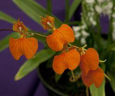 Comparettia speciosa - Flickr - Photo Sharing!