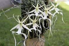 La orquídea fantasma que se presumía extinta desde hace más de 20 años, recientemente se han encontrado algunos ejemplares de esta en algunas regiones de Cuba. Se trata además de una planta que no tiene hojas ni utiliza la fotosíntesis para fabricar su alimento.  Tienen un tallo sumamente delgado y florecen en los meses de junio y agosto sobre árboles de ciprés. Sobre sus ramas, las flores parecieran estar flotando, de ahí su nombre.