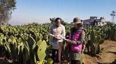 SEDEREC y técnicos de Agroasemex recorren zonas de cultivo de Milpa Alta afectadas por heladas