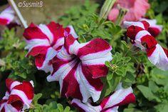 Crimson and White Petunia