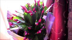 ✿My new lovely Easter Cactus Hatiora gaertneri flowering houseplant #VED...