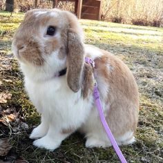 Bunny on a leash