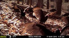 Vultures!  - Critter cams at Devil's Lake State Park - www.devilslakewisconsin.com