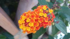 Lantana.  Banderita de España Plants, Flowers, Planters, Plant, Planting