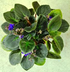 What Pot Size To Use For African Violet Plants? - Baby Violets Beautiful Flower Arrangements, Beautiful Flowers, Plant Pests, Violet Plant, Good Morning Flowers, Annual Plants, African Violet, Types Of Flowers, Flower Pots