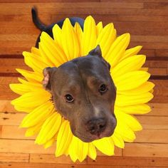 Which Pitbull mix breed is the perfect fit for you and your family? Learn about more than 44 different kinds of Pitbull mixes with facts and pictures. Brown Puppies, Cute Puppies, Cute Dogs, Dogs And Puppies, Doggies, Cute Funny Animals, Cute Baby Animals, Funny Dogs, Animals And Pets