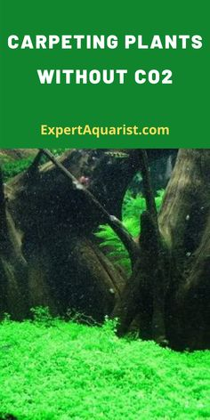 Though is the most important nutrient factors for plant growth and it is not possible to grow any plant without here we are talking about pressurized Is it possible to grow carpeting plants without injecting pressurized in your pl Freshwater Aquarium Plants, Tropical Freshwater Fish, Live Aquarium Plants, Planted Aquarium, Tropical Fish, Colorful Fish, Saltwater Fish Tanks, Saltwater Aquarium, Betta Aquarium