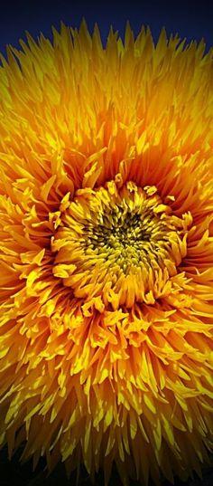 Teddy Bear Sunflower - Close-up