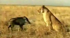 Haberin Ola! | Aslanların Yüz Karası ! - Ormanların kralı olarak bilenen aslanın içine düştüğü durum oldukça şaşırtıcı...