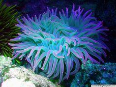 sea_anemone