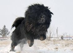 In Roman times, Mastiffs donned light armor and were sent after mounted knights.  http://thepoophappens.com