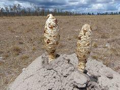 Podaxis beringamensis. Dung hill fungi.