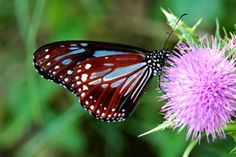 南國薊--青斑蝶