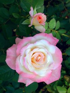 Captivating Why Rose Gardening Is So Addictive Ideas. Stupefying Why Rose Gardening Is So Addictive Ideas. Beautiful Rose Flowers, Pretty Roses, Love Rose, All Flowers, Amazing Flowers, My Flower, Cactus Flower, Exotic Flowers, White Flowers