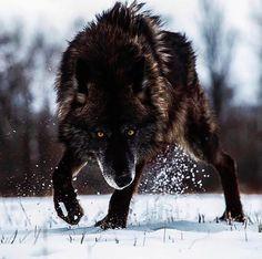 Black Wolf in Winter snow Más Wolf Photos, Wolf Pictures, Animal Pictures, Nature Photos, Wolf Spirit, Spirit Animal, Beautiful Creatures, Animals Beautiful, Tier Wolf