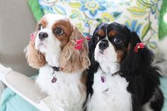 """""""We look so cute in our little pink bows!"""" .....cavalier king charles"""