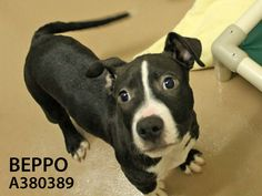 Beppo (ID: A380389) is a very sweet and friendly boy who will liven up your life with his playful personality. This social wing-man is also super cute with his black and white coloring. A family with kids 5 years and older might be fine for Beppo -- come meet him and see if it's a good fit.
