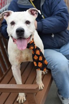Brooklyn Center GOOD BOY – A1062435 MALE, WHITE / BLACK, AM PIT BULL TER MIX, 5 yrs OWNER SUR – EVALUATE, NO HOLD Reason PERS PROB Intake condition EXAM REQ Intake Date 01/07/2016, From NY 11226, DueOut Date 01/07/2016, I came in with Group/Litter #K16-044601.