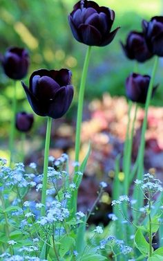 "Black tulips. Uh-oh, bulb flowers. ""Colorful summer flowers such as gladiolas and Gerber daisies are less expensive this time of year. Chrysanthemums, snapdragons, carnations and alstroemeria are cheaper than in any other time during the year. July through August is the best time to buy any type of rose because of decreased demand. This is the time of year to buy orchids of all colors."""