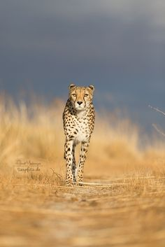 """The Lone Cheetah.""  (Photo By: Annett Mirsberger tierpfoto.de )"