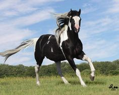 CHICO_GALLOPING -