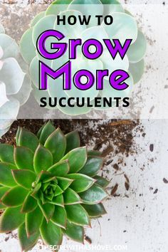 Have you ever had a leaf fall off your succulent? Have you ever wanted more succulents than the one? Have you ever wanted to share your succulents with your friends? Well now you can! OWN EVEN MORE SUCCULENTS BY GROWING YOUR OWN! Succulent Propagation | How to Grow Succulents | Succulent Propagation How to | Succulent Propagation Leaves | Leaf Propagation | Easy Succulent Propagation |