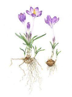 botanical drawings fushia - Google Search