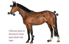 Normal Horse Vitals Signs and Health Indicators - TheHorse.com.  Use this interactive tool to learn more about the horse's vital signs. #horses