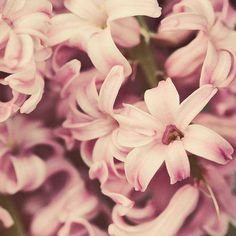 Hyacinth ตำนานว่าเกิดจากน้ำตาของเทพอพอลโล หยดบนกองเลือดของไฮยาซินทัสเพื่อนสนิท มีความหมายถึง รักมั่นคงไม่เปลี่ยนแปลง