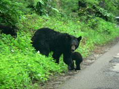 Black Bears in the Smoky Mountains,