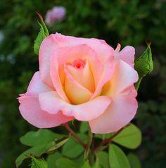 Pretty Pastel Rose by rgb48, via Flickr