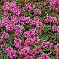 """Die Kleine Braunelle ist einer der dankbarsten Sommerblüher. Sie blüht von Juni bis September und beschert uns damit den ganzen Sommer über viel Freude. Sie wächst auf fast jedem Boden und ist im Allgemeinen anspruchslos.Die Kleine Braunelle """"Loveliness Pink"""" hat viele pinkfarbene Blüten, die sie in Grüppchen oberhalb des Blattwerks trägt. Ein idealer Standort ist der Steingarten, in dem sie besonders in Gruppen sehr wirkungsvoll ist.Eine Liefereinheit besteht aus 1 Pflanze."""