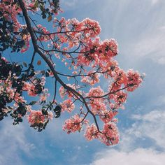 blue sky and pink flowers