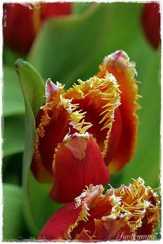 Suvikumpu Rose, Plants, Flowers, Pink, Roses, Planters, Plant, Planting, Pink Roses