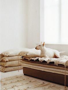 Cute English Bull Terrier dog lying on the cushions #bedroom #sleep