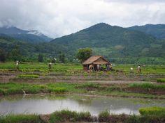 Rice paddies. Hsipaw, Myanmar. -Photo by Vincent Bertot