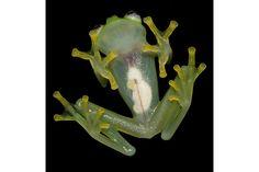 内臓が透けて見える「透明カエル」の新種発見