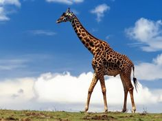 Giraffe HD Wallpapers 1920x1080 Images 41
