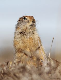 Arctic Ground Squirrel by chrysoptera, via Flickr