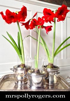 Learn how to Force Bulbs indoors to make your home lovely.  Blog & Photos from MrsPollyRogers.com