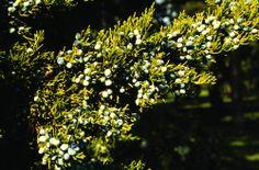 Juniperus virginiana, cheiro de Natal.