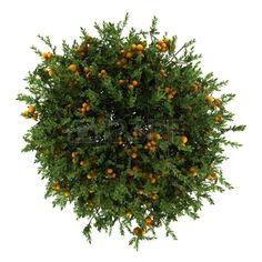 Top form of an Orange Tree