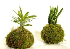 kokedamam  #kokedama #handmade #gift #succulent