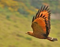 Photo Savanna Hawk (Heterospizias meridionalis) by Celi Aurora   Wiki Aves - The Encyclopedia of Brazilian Birds