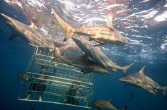 Shark-Cage-Diving-KZN