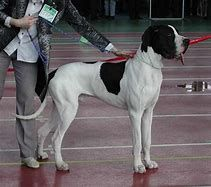 Piebald Great Dane With Natural Ears With Images Great Dane